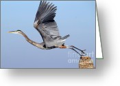 Blue Heron Photo Greeting Cards - The Takeoff Greeting Card by Richard Mann