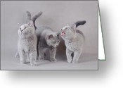 Playful Kitten Greeting Cards - The Three Musketeers Greeting Card by Waldek Dabrowski