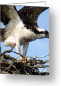 Osprey Photo Greeting Cards - The True Fisherman Greeting Card by Karen Wiles
