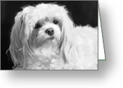Dog Prints Photo Greeting Cards - The Tzar Maltese Greeting Card by Lisa  DiFruscio