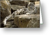 Watching Greeting Cards - The Watchful Stare Of A Snow Leopard Greeting Card by Jason Edwards