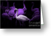 Dances Greeting Cards - The White Flamingo Greeting Card by Wingsdomain Art and Photography