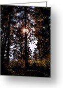 Backlit Greeting Cards - The Woods at Priest Lake Greeting Card by David Patterson