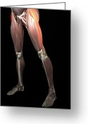 Muscle Photo Greeting Cards - Thigh/lower Limb Abduction Greeting Card by MedicalRF.com