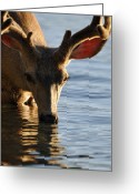 Lake Mcdonald Greeting Cards - Thirsty Deer in Lake McDonald Greeting Card by Bruce Gourley