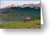 Animals Greeting Cards - This is Alberta 10 - Bucks Sunset Snack Greeting Card by Paul W Sharpe Aka Wizard of Wonders