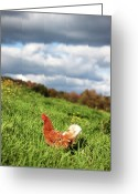 Livestock Greeting Cards - This Is As Free Range As A Chicken Can Get Greeting Card by Photo by Keesha Davis