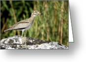 Black Beak Greeting Cards - This is Botswana No.  5 - Water Thick-knee Greeting Card by Paul W Sharpe Aka Wizard of Wonders