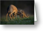 Feeding Greeting Cards - This is Namibia No.  3 - Damara Dik-Dik Feeding Greeting Card by Paul W Sharpe Aka Wizard of Wonders