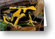 Chromatic Greeting Cards - This May Be The Poison Frog Dendrobates Greeting Card by George Grall