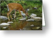 White Tailed Deer Greeting Cards - This Picture Has Already Been Indexed Greeting Card by Phil Schermeister
