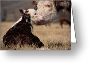 Animal Life Cycles Greeting Cards - This Young Hereford Was Born Greeting Card by Sam Abell