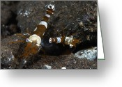 Thor Greeting Cards - Thor Amboinensis Shrimp On Brown Rocks Greeting Card by Mathieu Meur