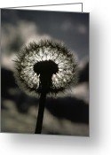 Pods Greeting Cards - Thoreau Called A Dandelion A Complete Greeting Card by Farrell Grehan