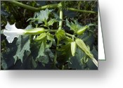 Thorn Apple Greeting Cards - Thorn Apple (datura Stramonium) Greeting Card by Georgette Douwma