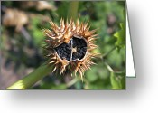 Thorn Apple Greeting Cards - Thorn Apple Seed Pod Greeting Card by Dr Keith Wheeler