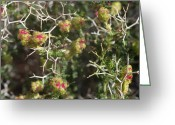 Flower Blossom Greeting Cards - Thorny burnet or Sarcopoterium spinosum Greeting Card by Paul Cowan