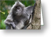 Silvered Leaf Monkey Greeting Cards - Thoughtful Greeting Card by Louise Heusinkveld