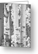 Colorado Prints Greeting Cards - Three Aspens In Black and White  Greeting Card by James Bo Insogna