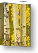 Autumn Photographs Greeting Cards - Three Autumn Aspens Greeting Card by James Bo Insogna