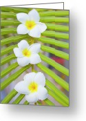 Head Greeting Cards - Three Frangipanis Greeting Card by Laura Leyshon