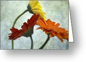 Oldfashioned Greeting Cards - Three Gerbera Greeting Card by Bernard Jaubert
