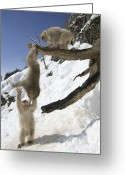 Trees And Rock Cliffs Greeting Cards - Three Japanese macaques Greeting Card by Roy Toft