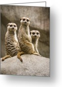 Standing Meerkat Photo Greeting Cards - Three Meerkats Greeting Card by Chad Davis