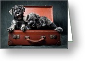 Three Animals Greeting Cards - Three Miniature Schnauzer Puppies In Old Suitcase Greeting Card by Steve Collins / momofoto