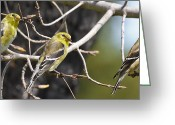 Backyard Goldfinch Digital Art Greeting Cards - Three of a Kind Greeting Card by Terry Jacumin