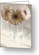 Gerber Greeting Cards - Three on a Windowsill Greeting Card by Rebecca Cozart