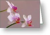White Orchids Greeting Cards - Three Orchids Greeting Card by Juergen Roth