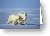Suspicion Greeting Cards - Three Polar Bears Walk On The Ice Greeting Card by Nick Norman