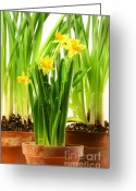 Warm Greeting Cards - Three pots of daffodils on white  Greeting Card by Sandra Cunningham