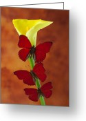 Yellow Glass Art Greeting Cards - Three red butterflies on calla lily Greeting Card by Garry Gay