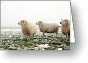 Grass Greeting Cards - Three Sheep In Winter Greeting Card by MarcelTB
