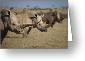 Safari Park Greeting Cards - Three White Rhinos Line Up In Solio Greeting Card by Robin Moore