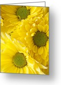 Chrysanthemum Greeting Cards - Three Yellow Daisies  Greeting Card by Garry Gay