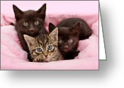 Feline Greeting Cards - Threee kittens in a pink and white basket Greeting Card by Susan  Schmitz