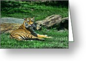 Siberian Tiger Greeting Cards - Tiger - Endangered - lying down - tongue out Greeting Card by Paul Ward