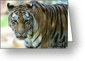 Fur Stripes Greeting Cards - Tiger - Endangered - Wildlife Rescue Greeting Card by Paul Ward