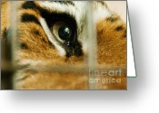 Siberian Tiger Greeting Cards - Tiger behind bars Greeting Card by Melody and Michael Watson