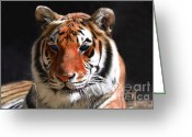 Laying Down Greeting Cards - Tiger Blue Eyes Greeting Card by Rebecca Margraf