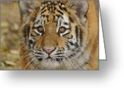 Tiger Cub Greeting Cards - Tiger Cub Greeting Card by Ernie Echols