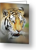 Big Cat Greeting Cards - Tiger Eyes Greeting Card by Michael Peychich
