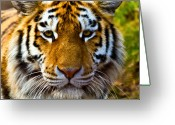 Staring Greeting Cards - Tiger Greeting Card by Gert Lavsen