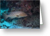 Cavern Greeting Cards - Tiger Grouper Swimming Along The Bottom Greeting Card by Michael Wood