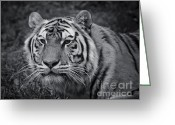 Fur Stripes Greeting Cards - Tiger in the Grass Greeting Card by Darcy Michaelchuk