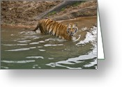 Intent Greeting Cards - Tiger in the Water Greeting Card by Douglas Barnett
