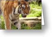 Paws Digital Art Greeting Cards - Tiger on the hunt Greeting Card by Gordon Dean II